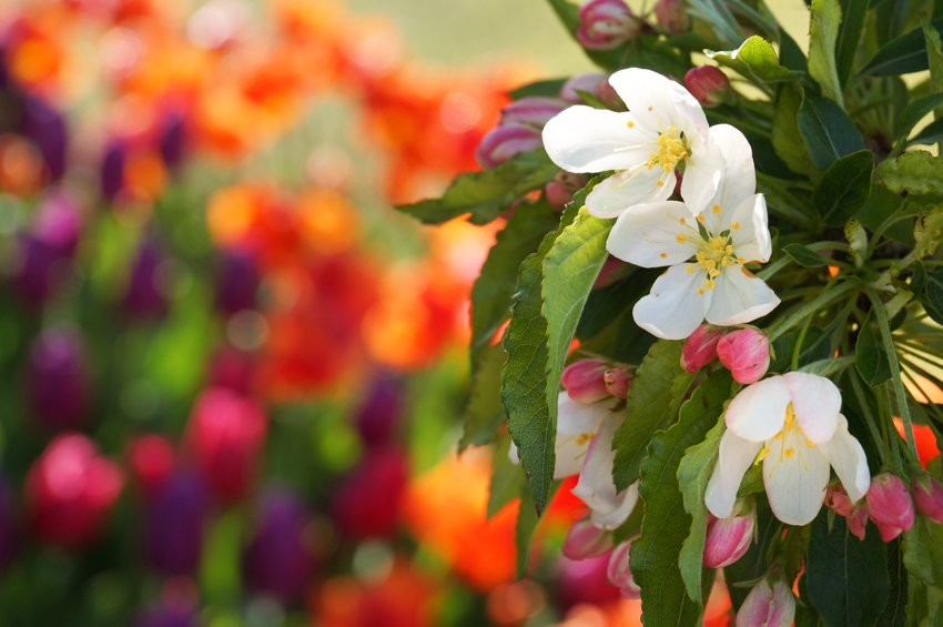 apple blossoms with tulip garden