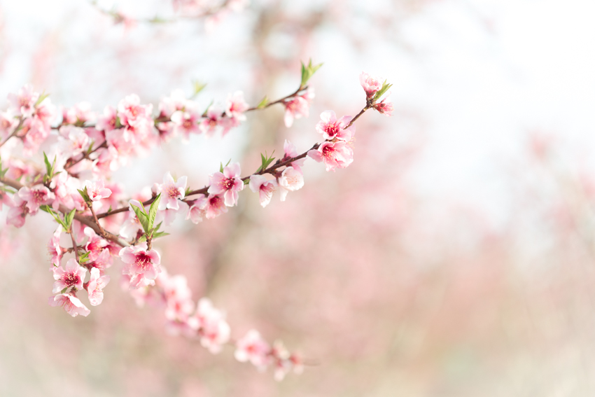 Pink Blossoms in Peach Tree Orchard
