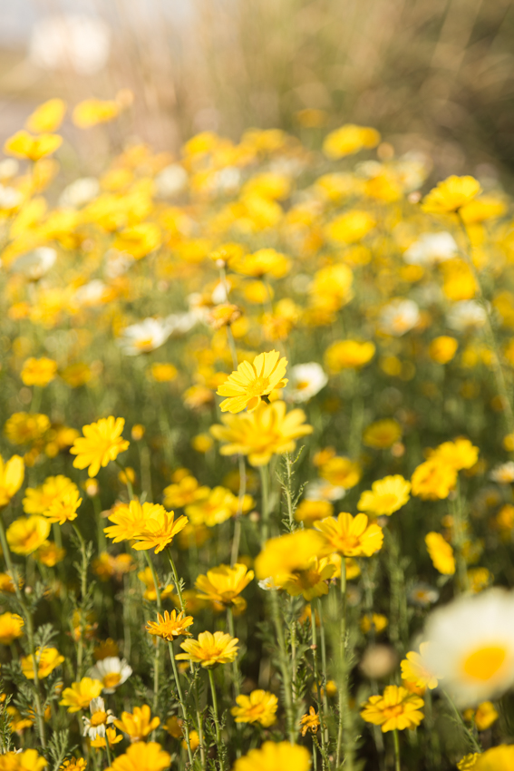 Field of spring annual daisy flowers