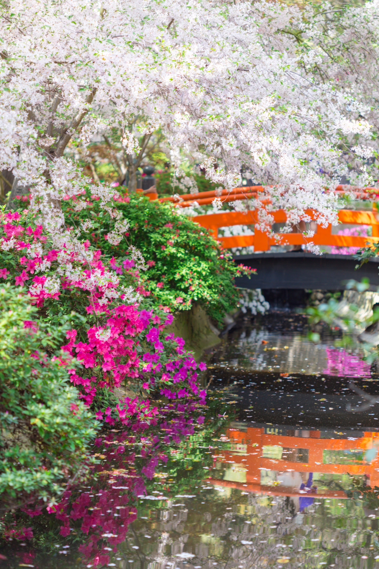 Japanese Garden Cherry Blossom Bridge california - suzette barnett photography