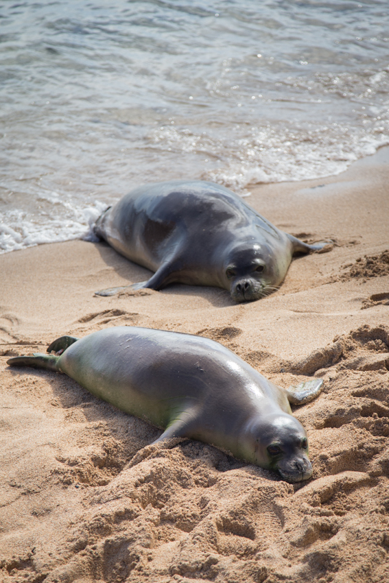Beached monk seals