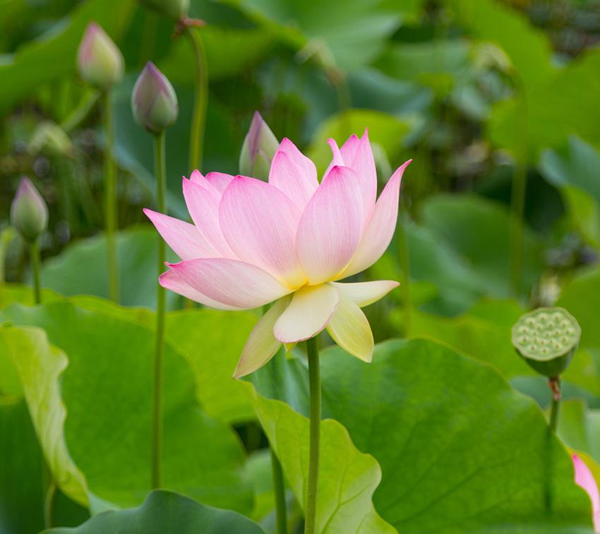 pink_lotus_flower